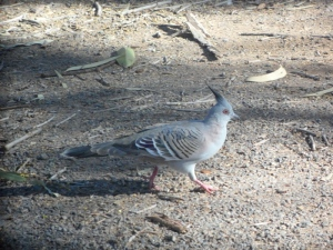Pigeon huppé