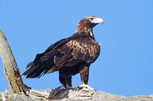 Aquila audax, un des plus grands oiseaux de proie du monde