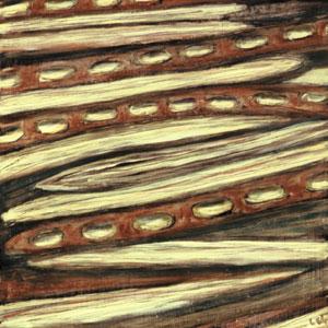 Graines de Mulga